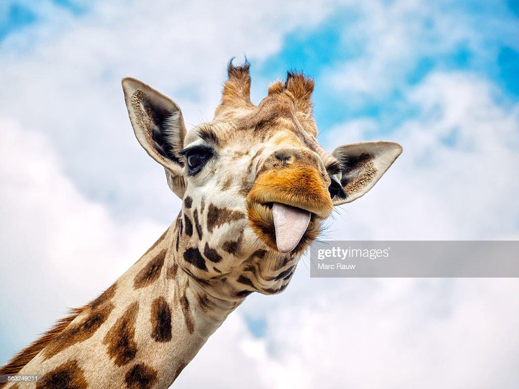 Goofball Giraffes