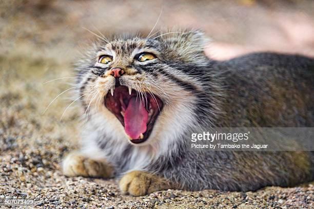 Funny pallas cat