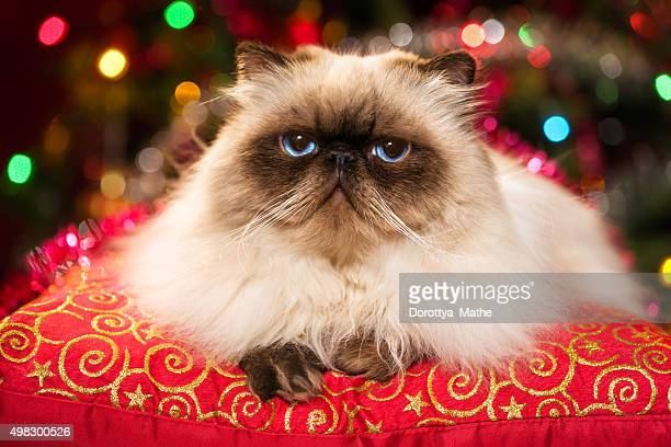 Funny persian colourpoint cat is lying on a red cushion in front of a Christmas tree with colourful lights bokeh