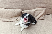 Funny portrait of cute smilling puppy dog border collie on couch. New lovely member of family little dog at home barking and waiting. Pet care and animals concept