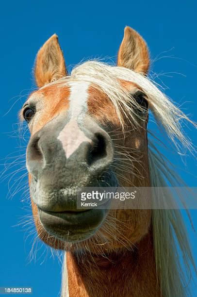 funny portrait of Haflinger horse