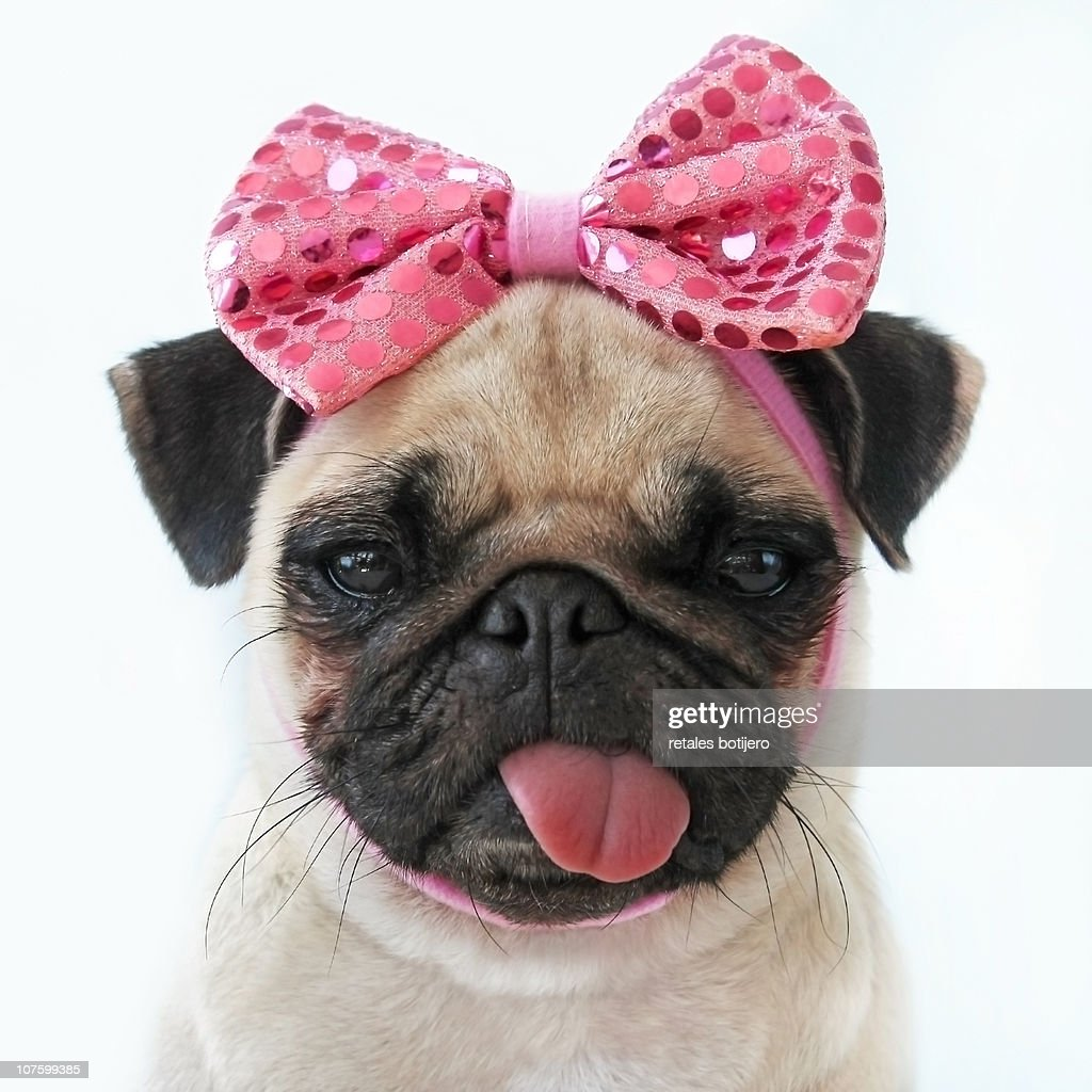 Funny Pug dog : Stock Photo