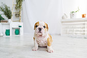 Funny puppy of english bull dog  on the floor looking to camera. Cute doggy with black nose colorful body sitting on wooden floor.