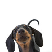 Dachshund puppy looking funny