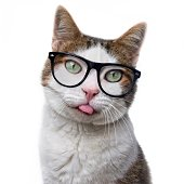 Funny tabby cat in nerd glasses put out his tongue. Isolated on white background.