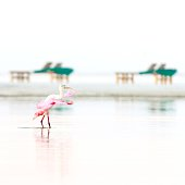 Funny Walk for a Roseate Spoonbill