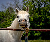 Silly white Arabian horse laughing exposing teeth
