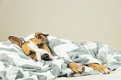Tired or sick pitbull dog sleeping or resting under covers in bed in clean indoor bedroom conditions.