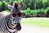 Funny zebra with sunglasses