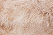 Golden retriever's fur close-up
