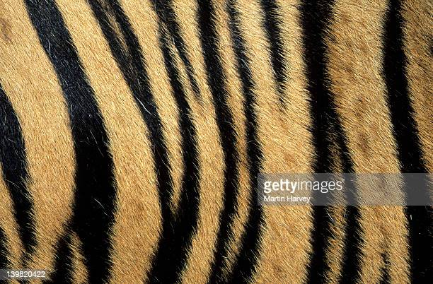 Fur pattern of endangered tiger (Panthera tigris). Dist. Asia but extinct in much of its range.