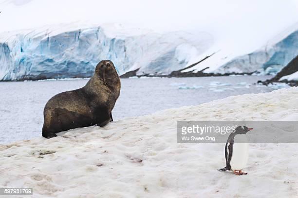 Fur Seal & Gentoo Penguin
