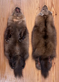Fur skins of Barguzin sable. View of back and abdomen