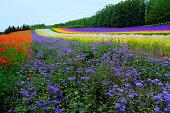 Furano lavender field