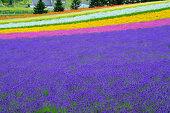 Furano lavender season
