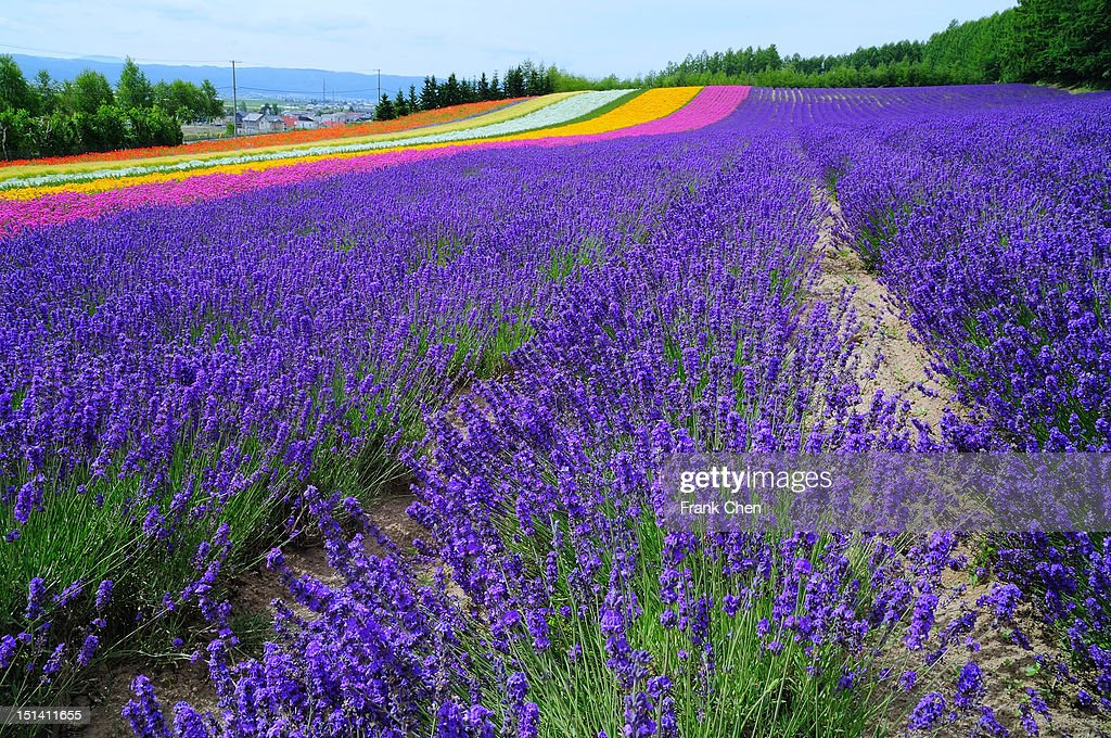 Furano lavender season : Stock Photo