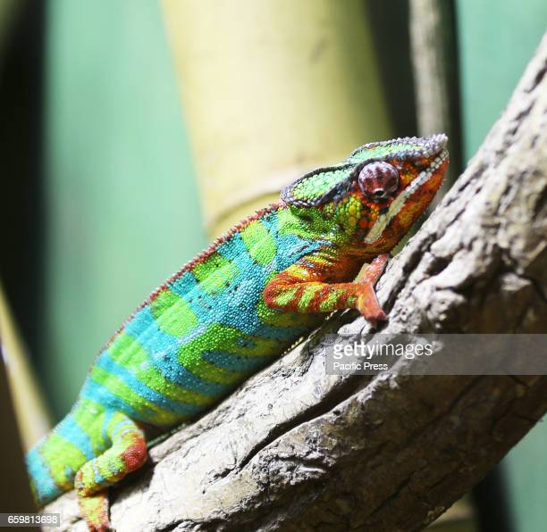 A furcifer chameleon is seen at the Warsaw Zoo