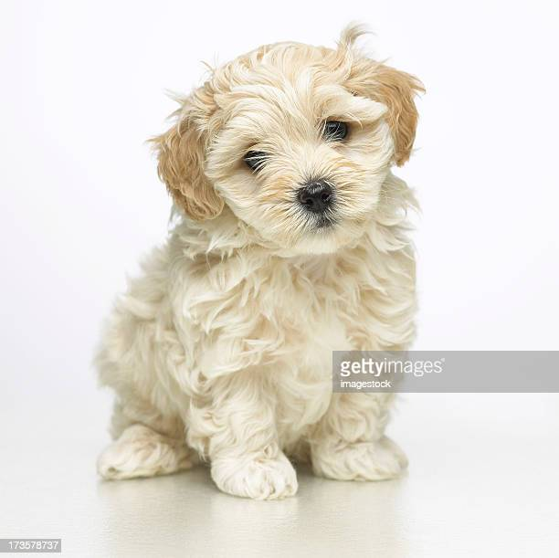 Furry beige puppy on a white background