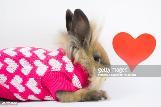 Furry dwarf rabbit in love, Oryctolagus cuniculus domesticus