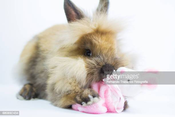 Furry Dwarf Rabbit plays, kiss and hugs a bunny-shaped rag doll and adopts his son