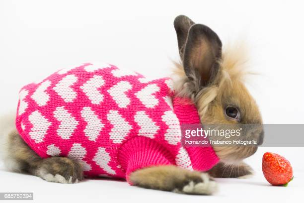 Furry dwarf rabbit wrapped and disguised in a winter wool sweater with hearts and love eat strawberry