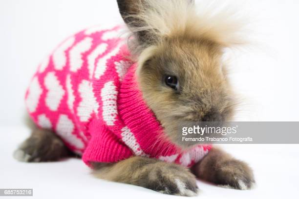 Furry dwarf rabbit wrapped and disguised in a winter wool sweater with hearts and love, Oryctolagus cuniculus domesticus