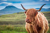 Furry highland cow in Isle of Skye, Scotland