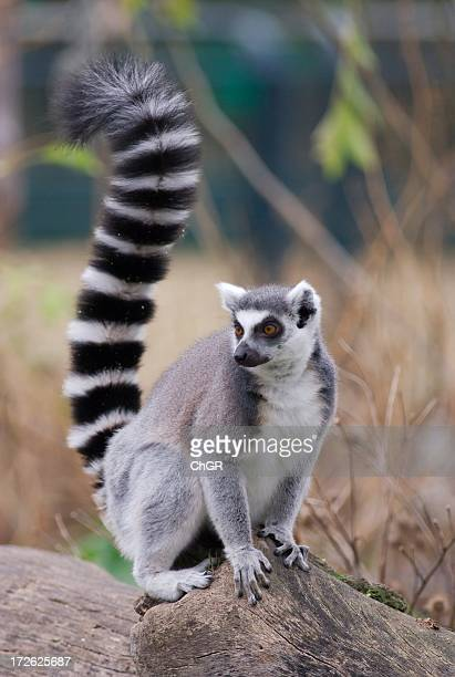 Furry lemur perched on rock looking into the distance