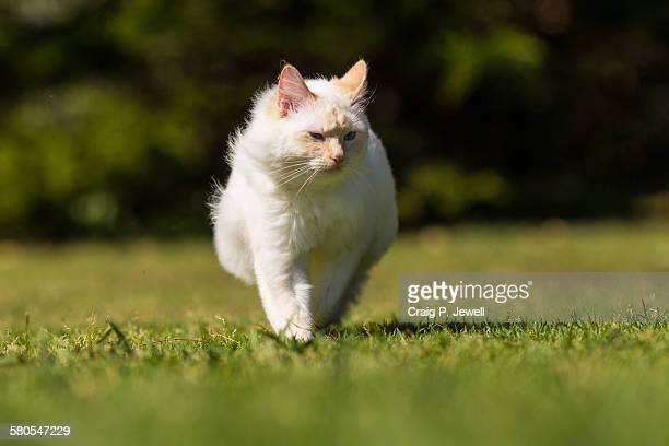 Furry Ragdoll Strutting Confidently Across a Field