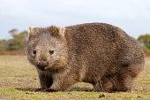 """Close up of wombat in Narawntapu national park, Australia"""