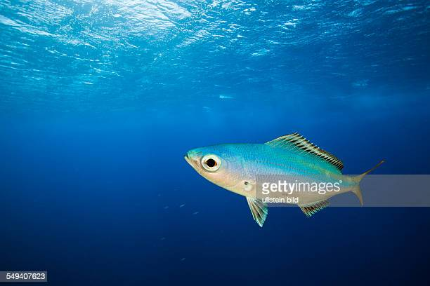 Fusilier in Blue Water Caesio lunaris Daedalus Reef Red Sea Egypt