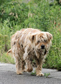 Futaba Japan File photo shows a stray dog wondering on a road in a noentry zone in Futaba Fukushima Prefecture near the crippled Fukushima Nuclear...