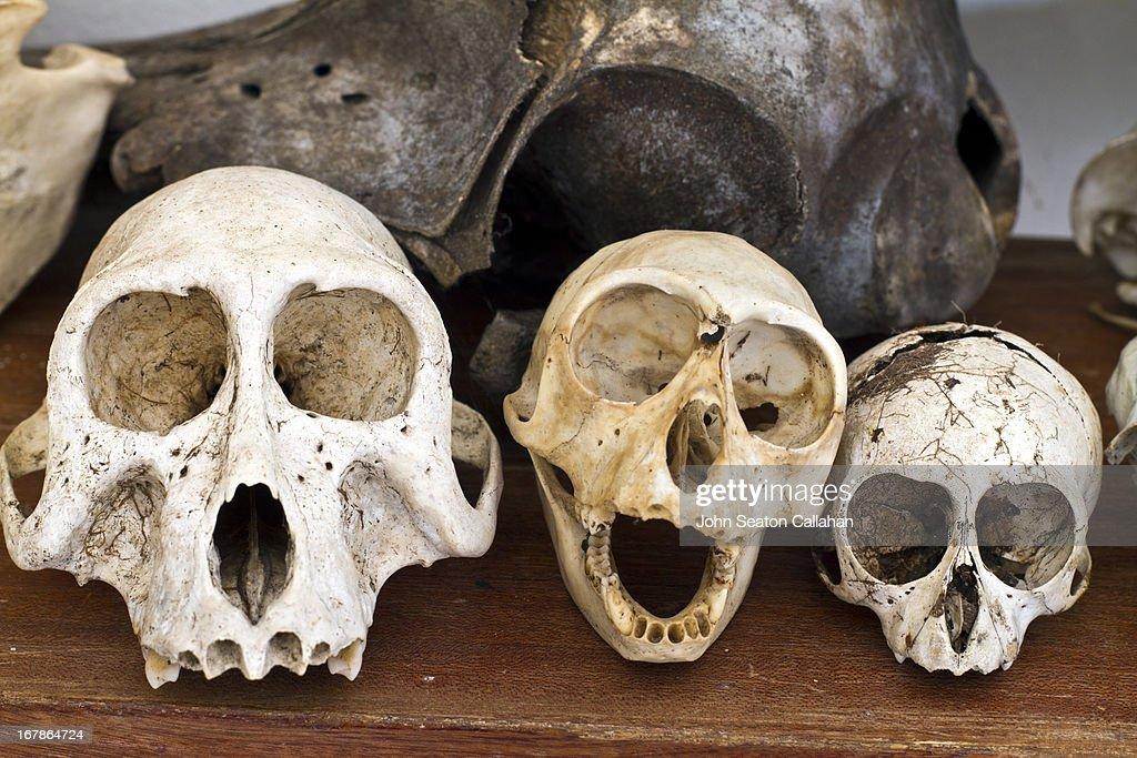 Gabon, Mayumba National Park, primate skulls