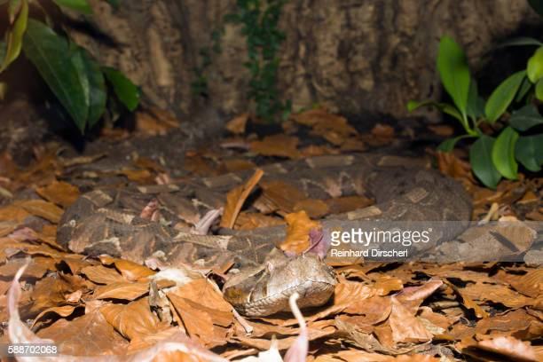 Gaboon Viper (Bitis gabonica), Gabon, West Africa