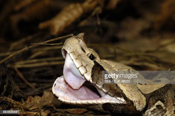 Gaboon viper or Western gaboon viper Viperidae repeatedly opening its mouth after eating to adjust its fangs