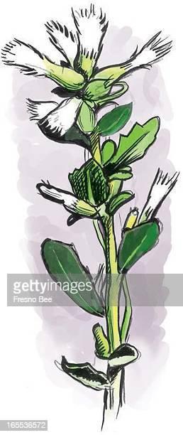 Gabriel Utasi color botanical illustration of feathery white bloom on dwarf coyote bush