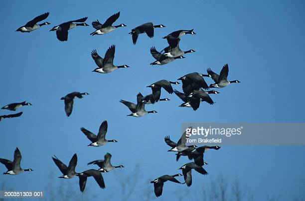 Gaggle of Canada geese in flight, North America