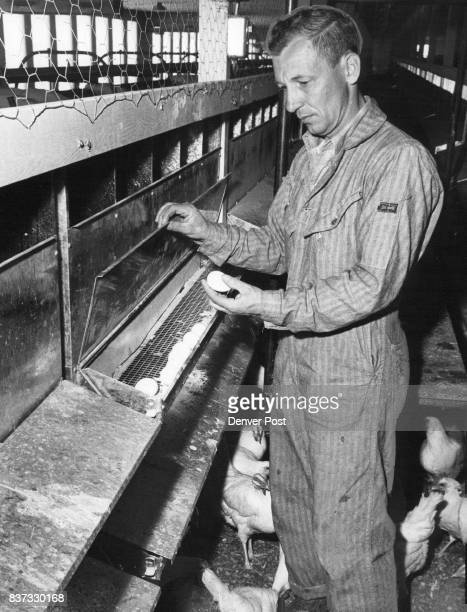 Gail Rees resident manager of Columbine Egg Farm at Keenesburg Colo takes an egg from trough behind the laying cage Eggs roll out from under the hens...