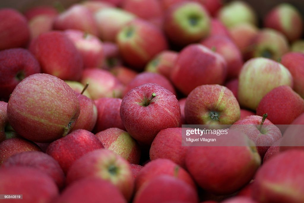 Gala apples are pictured during the apple harvest next to the lake Constance on September 4, 2009 in Lindau, Germany. The lake is situated in Germany, Switzerland and Austria near the Alps. More then 1500 farmers grow apples in the lake Constance area.