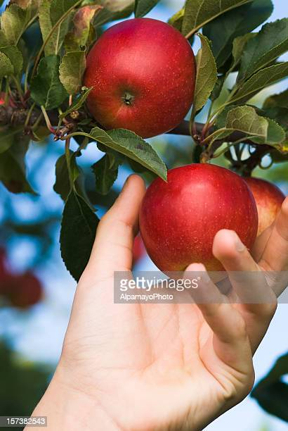 ガラりんごの果樹園 V (ピックアップル)