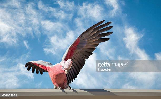 Galah Cockatoo (Cacatua roseicapilla) on a wall