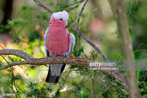 Galah -Eolophus roseicapillus-, adult, on perch, Wilsons Promontory National Park, Victoria, Australia