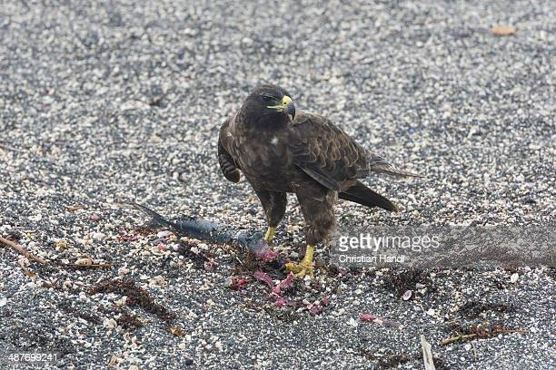 Galapagos Hawk -Buteo galapagoensis- with a caught fish, Narborough Island, Galapagos Islands