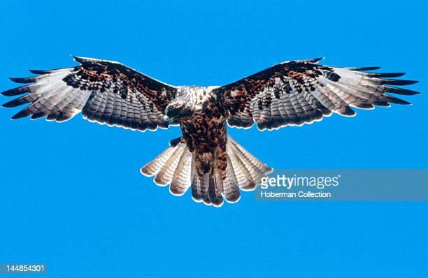 Galapagos Hawk Galapagos Islands Ecuador