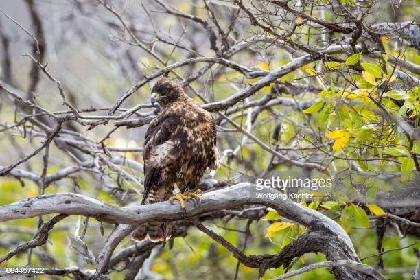 Galapagos hawk is perched in a tree at Playa Espumilla a beach on Santiago Island in the Galapagos Islands Ecuador