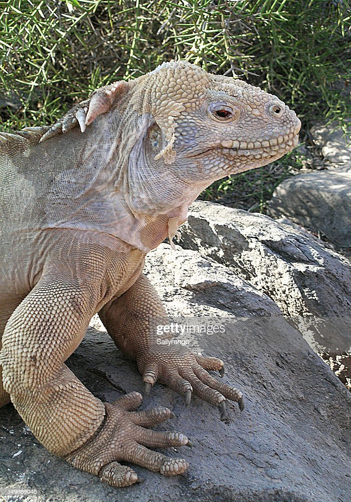Galapagos Iguana : Stock Photo