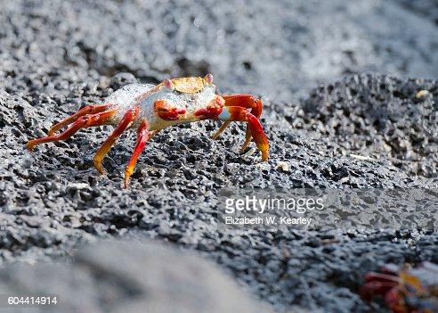 Galapagos Island crab