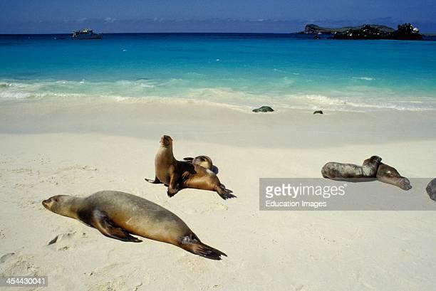 Galapagos Islands Floreana Island Punta Cormorant Sea Lions Basking In The Sun On The Beach