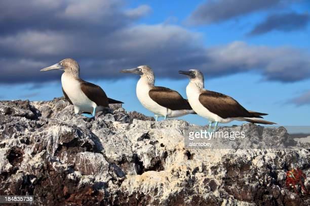 Galapagos Islands: Three Blue-Footed Boobies