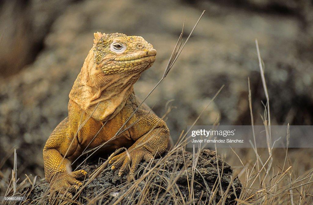 galapagos land iguana, Conolophus pallidus